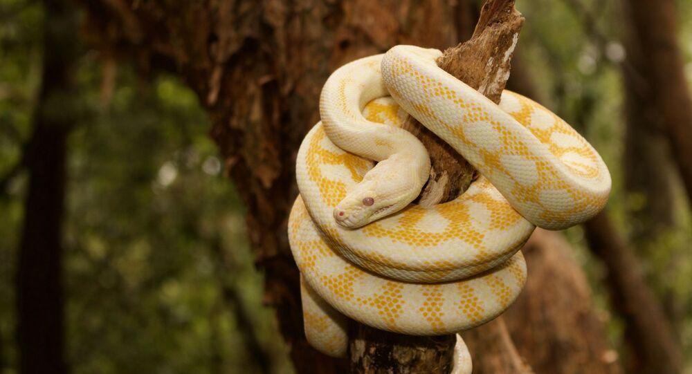 Píton albina