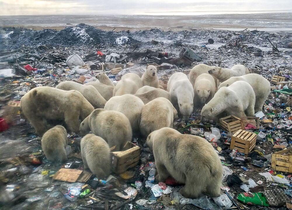 Ursos-polares buscam comida em monturo perto do povoado de Belushya Guba, no arquipélago de Novaya Zemlya