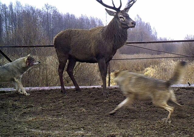 Lobos atacam veado na zona de exclusão da usina nuclear de Chernobyl