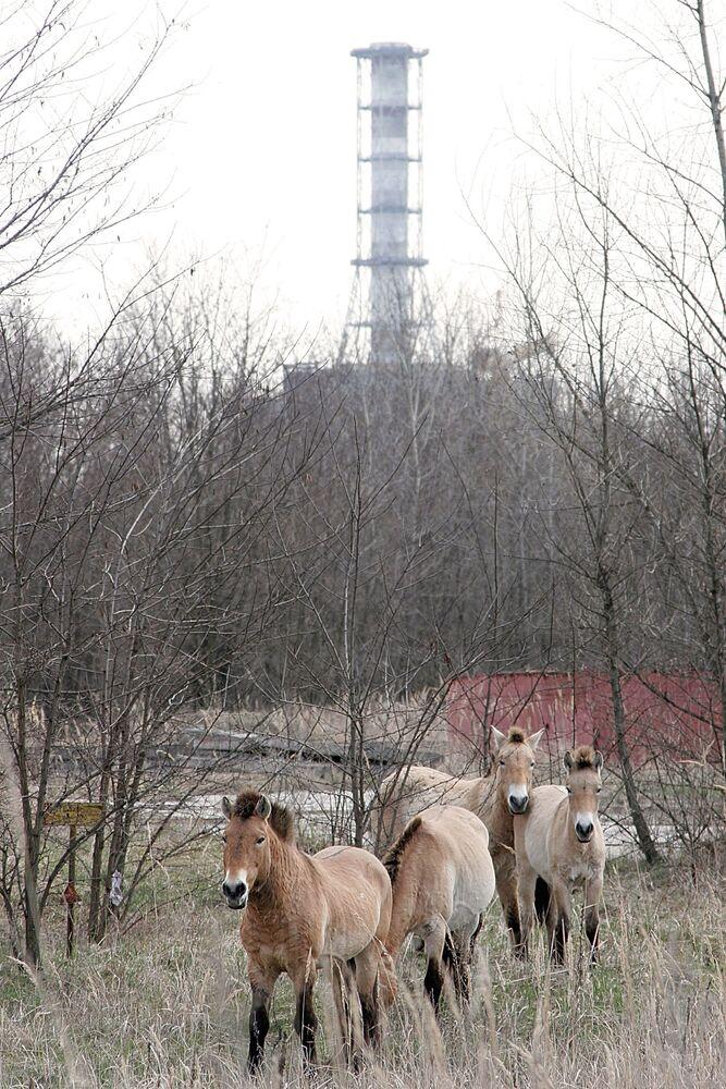 Cavalos perto do sarcófago do 4ª reator da usina nuclear de Chernobyl