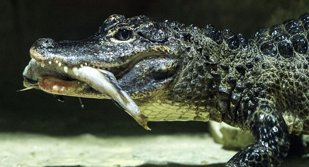 Crocodilo-siamês do Jardim Zoológico de Moscou (imagem referencial)