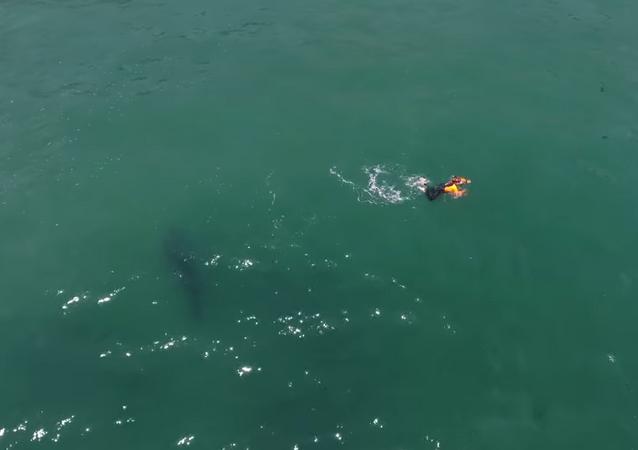 Nadador é perseguido por tubarão-branco na Califórnia