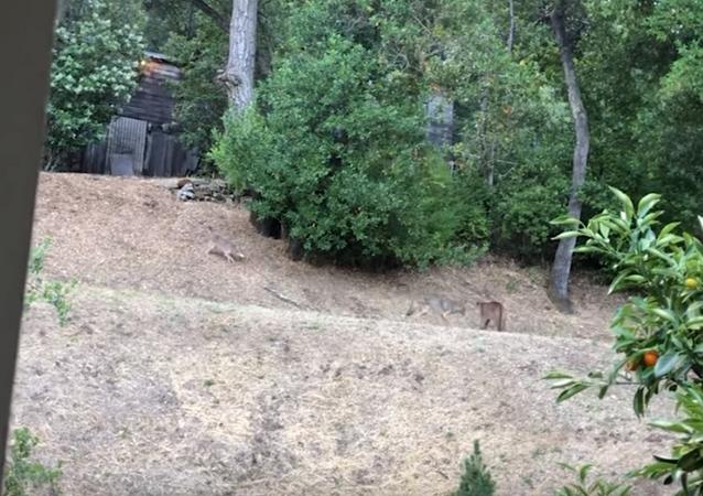 Coiotes arquitetam ataque à onça-parda, mas quem sai correndo são eles