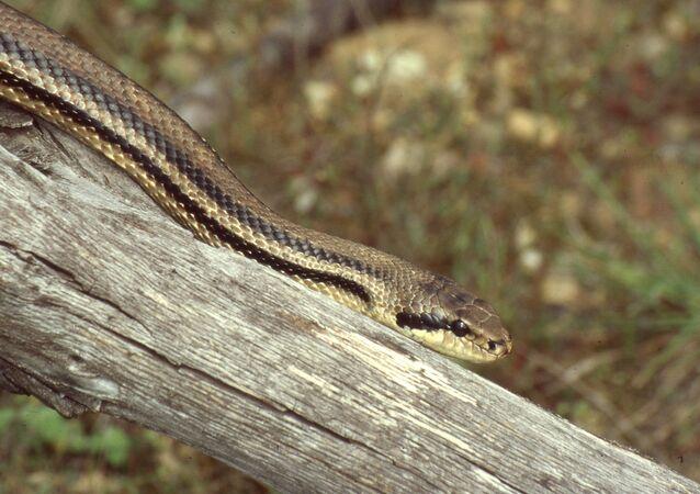Serpente de quatro listras