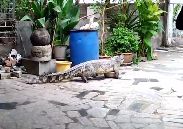 Crocodilo grande quase escapou dos apanhadores