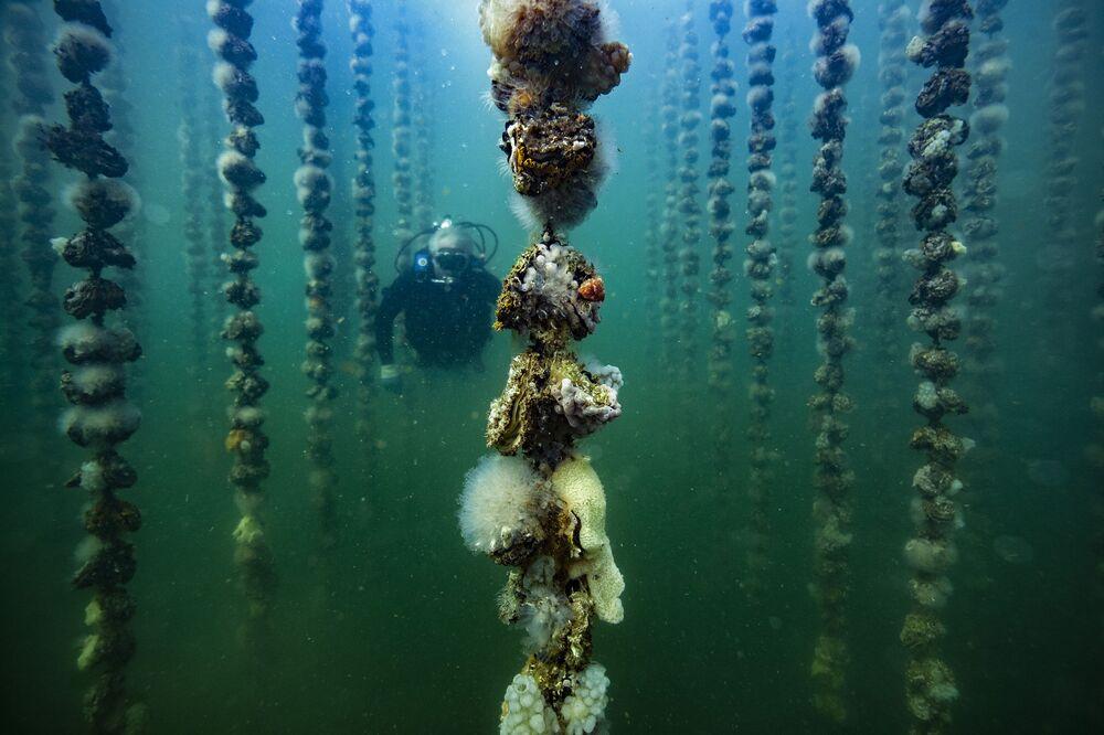 Especialista verificando crescimento das ostras, em Bouziques, na França