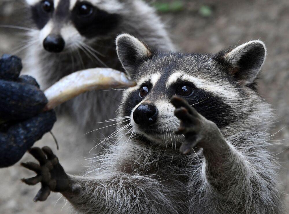 Guaxinins sendo alimentados no Parque de Pequenos Predadores na região russa de Primorie