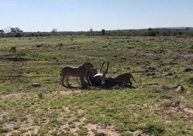 Destino cruel: zebra morre mesmo tendo escapado de mandíbulas de crocodilo