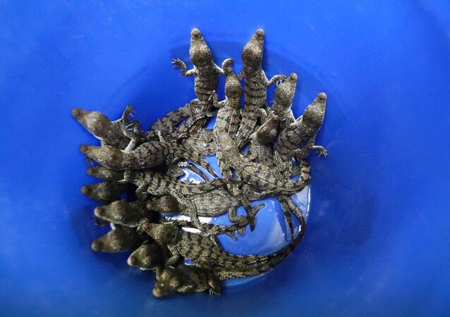 Balde cheio de crocodilos bebês que foram retirados de uma área próxima à usina nuclear da Flórida (EUA), 19 de julho de 2019