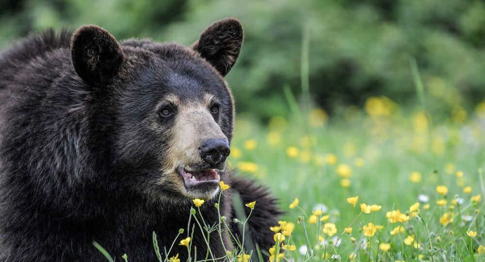 Ursos negros (ursos norte-americanos) no jardim zoológico Planete Sauvage na França
