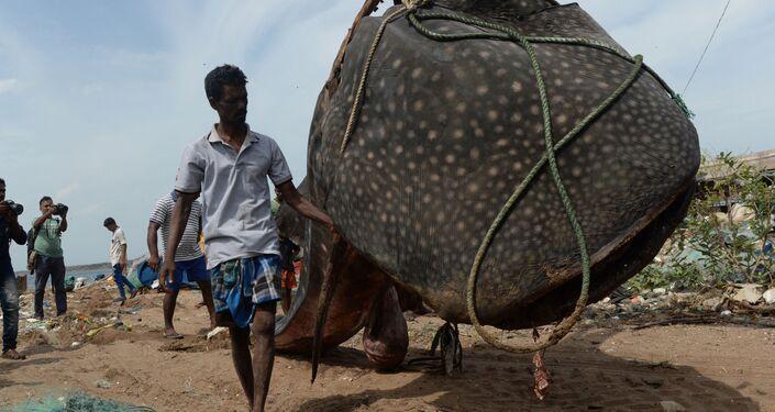 Pescador indiano com o tubarão-baleia no porto de pesca de Kasimedu, em Chennai
