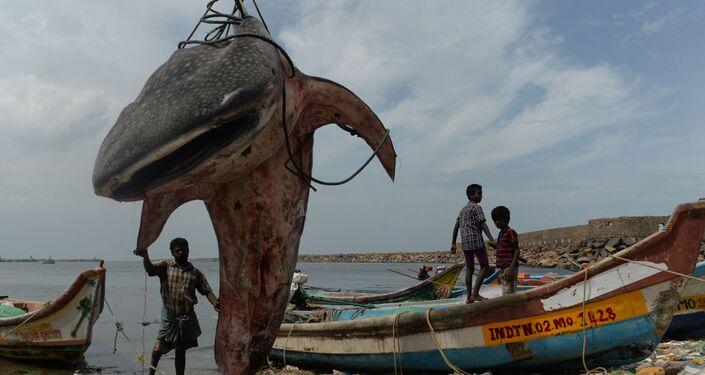 Indiano com o tubarão-baleia no porto de pesca de Kasimedu