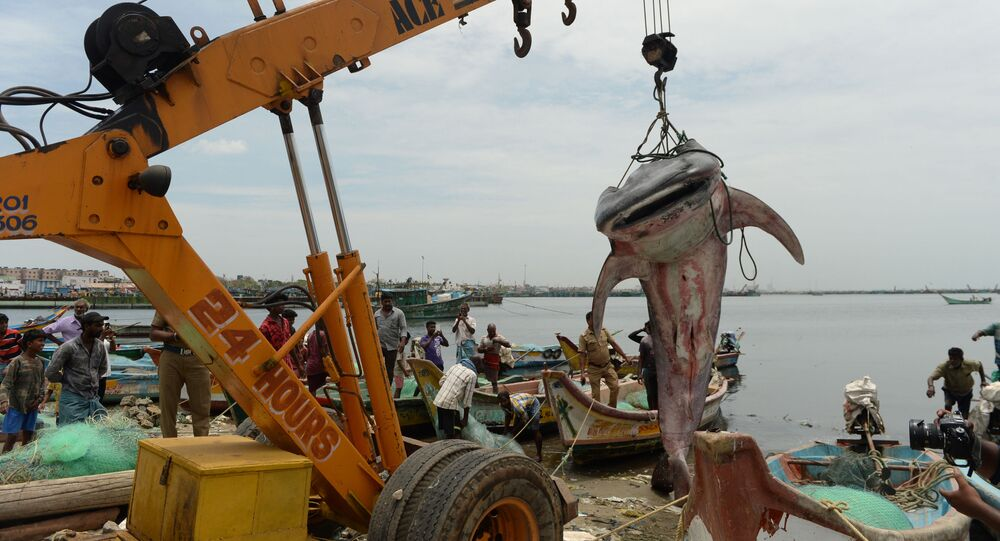 Tubarão-baleia sendo levantado da água com um guindaste para inspeção oficial