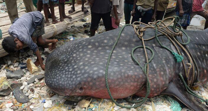 Menino indiano dá uma olhada mais de perto no tubarão-baleia morto, em Chennai