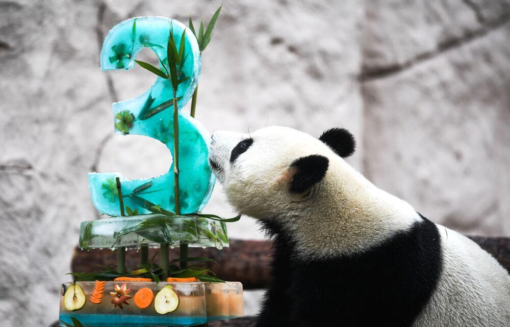 Aniversário do panda Zhui no Zoológico de Moscou