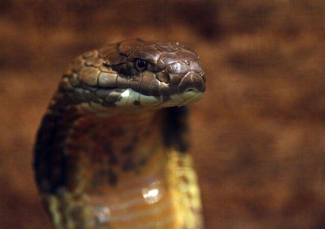 Cobra na Fazenda de Crocodilos em Moscou
