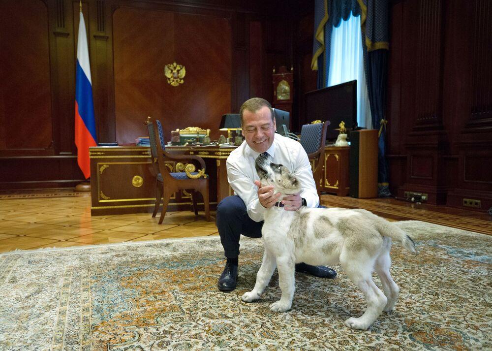 O primeiro-ministro da Rússia Dmitry Medvedev com o Alabai, ou pastor-da-ásia-central, chamado Aik, oferecido pelo presidente da Turquemenistão