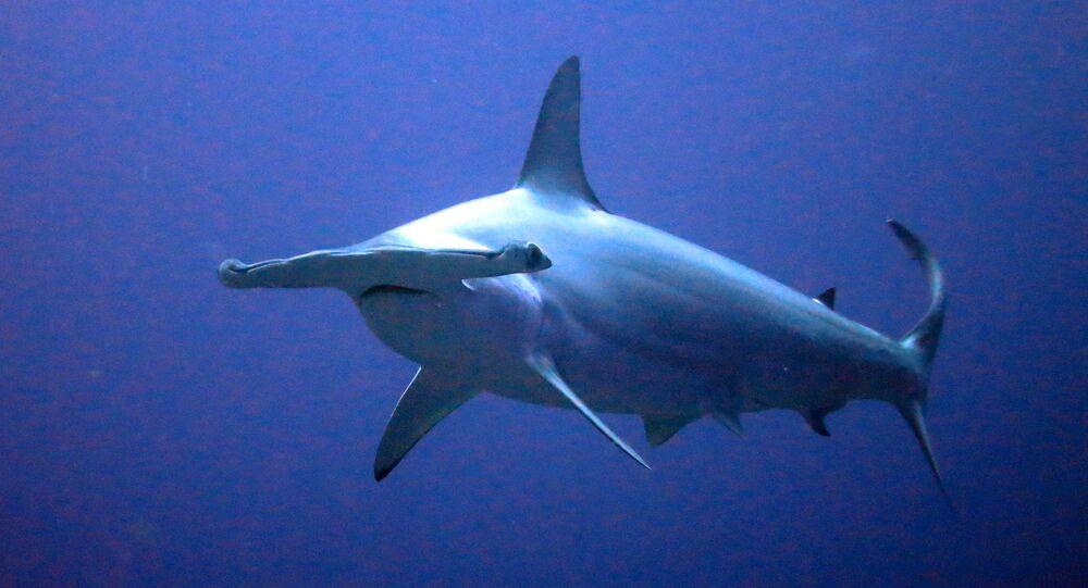 Tubarão-martelo
