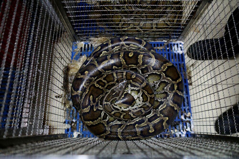 Cobra relaxa em jaula no Corpo de Bombeiros na Tailândia