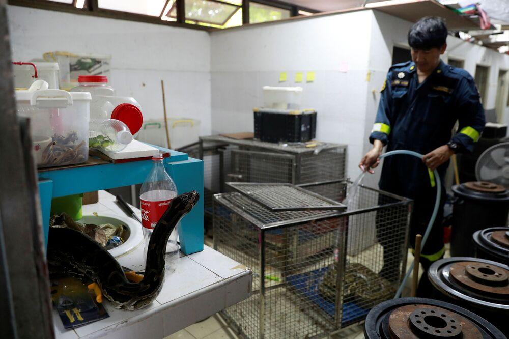 Bombeiro limpa jaula de cobra na Tailândia