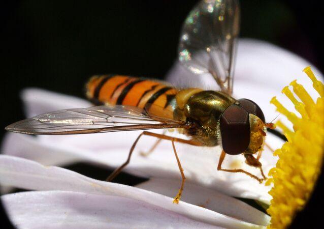 Vespa colhe pólen de flor (imagem ilustrativa)