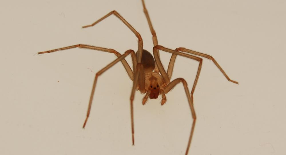 Aranha-marrom-reclusa (imagem referencial)