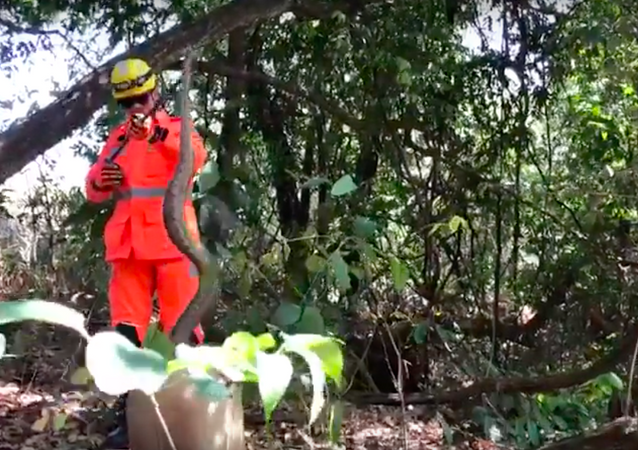 Pesada e arisca: jiboia de 2 metros volta à selva em MG