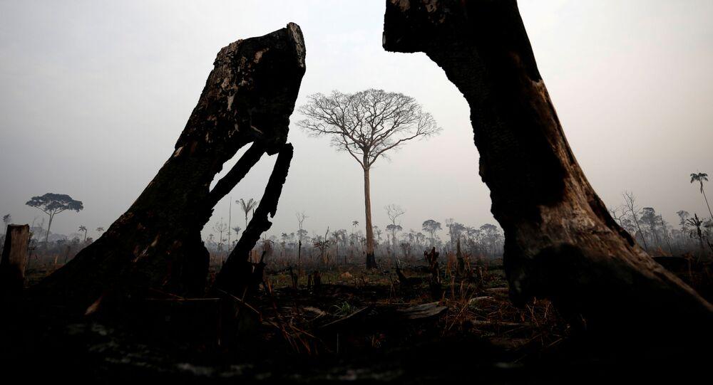 Árvores queimadas durante os incêndios florestais na Amazônia