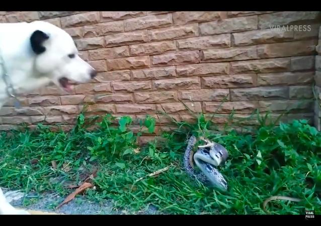Cara a cara com o perigo: cachorro feroz enfrenta cobra pronta para atacar