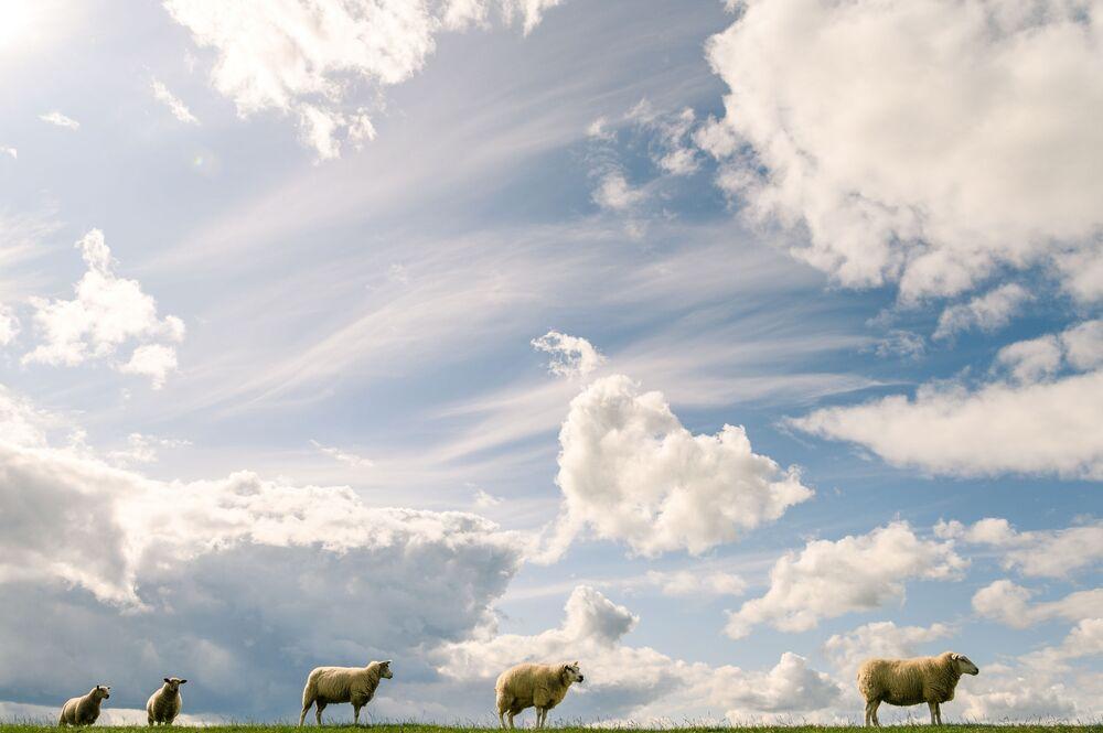 Ovelhas em campo verde na Alemanha sob o céu cheio de nuvens brancas