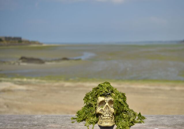 Caveira falsa coberta de algas tóxicas na praia de Vallais em Saint-Brieuc, no noroeste de França.