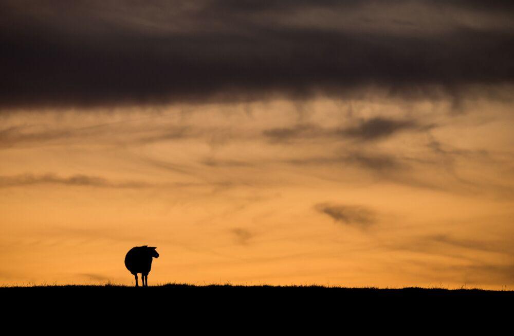 Silhueta de ovelha no pôr do sol em Haseldorf, no norte da Alemanha, em 14 de setembro de 2019