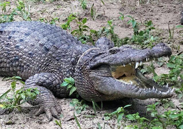 Um crocodilo representante da nova espécie Crocodylus halli (imagem referencial)