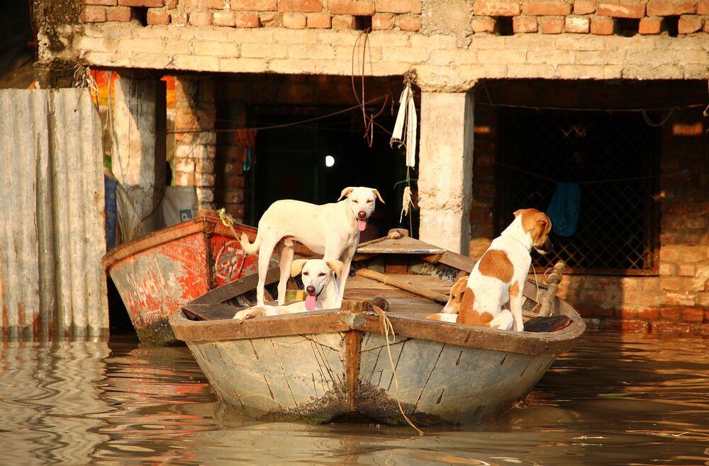Cachorros acham proteção em um barco durante enchente dos rios indianos Ganges e Yamuna em Allahabad