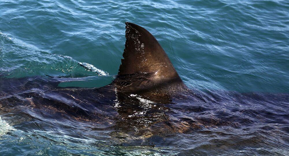 Tubarão Branco nada nas águas de Gansbaai, na África do Sul (foto de arquivo)