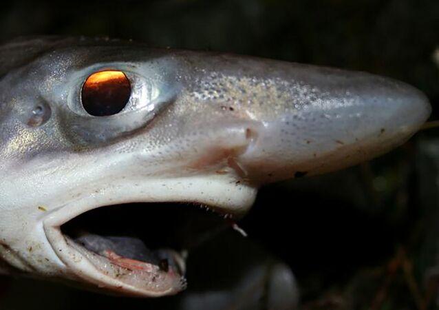 Um peixe leitão-malhado, também conhecido como tubarão-gato-de-boca-negra (foto de arquivo)
