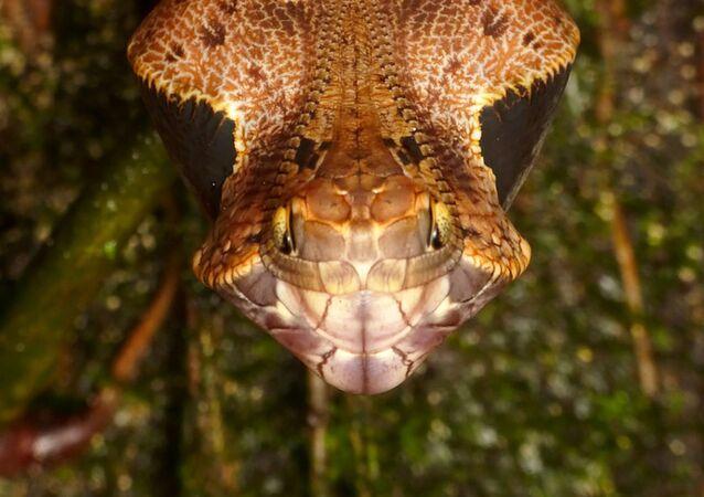 Lagarta da espécie Dynastor darius com cabeça semelhante à de uma cobra