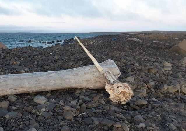 Chifre de unicórnio-do-mar descoberto por funcionários do Parque Nacional do Árctico Russo, no extremo norte da Rússia