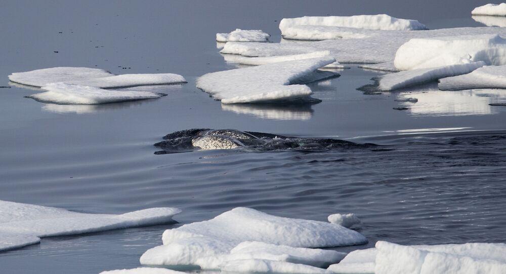 Narvais nadam entre o gelo marinho flutuando no estreito de Franklin, no arquipélago Ártico Canadense, 22 de julho de 2017