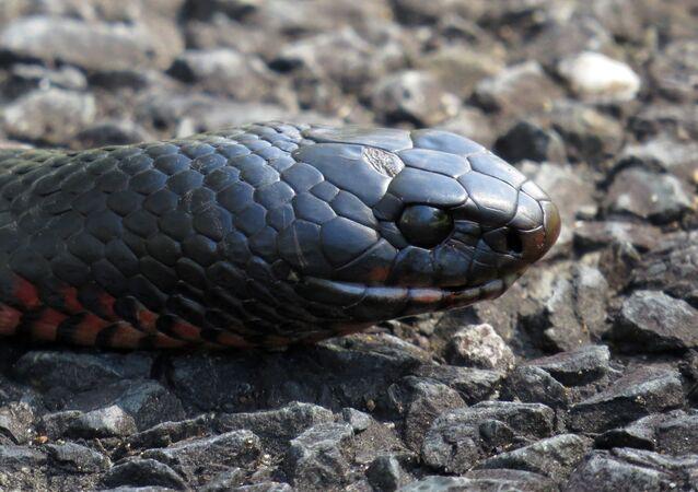 Cobra negra com barriga vermelha, nativa da Austrália