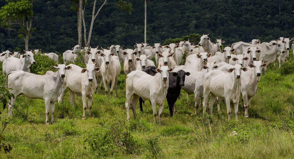 Gados na fazenda Nossa Senhora do Carmo, em Cumaru do Norte, no interior do Pará (foto de arquivo)
