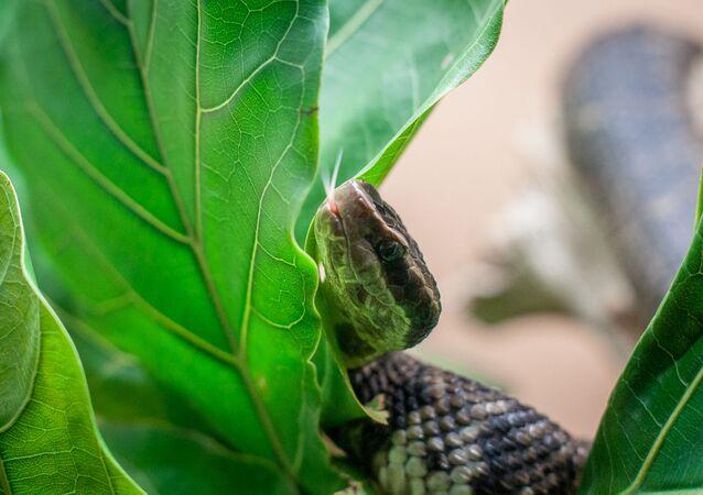 Cobra da espécie Austrelaps labialis