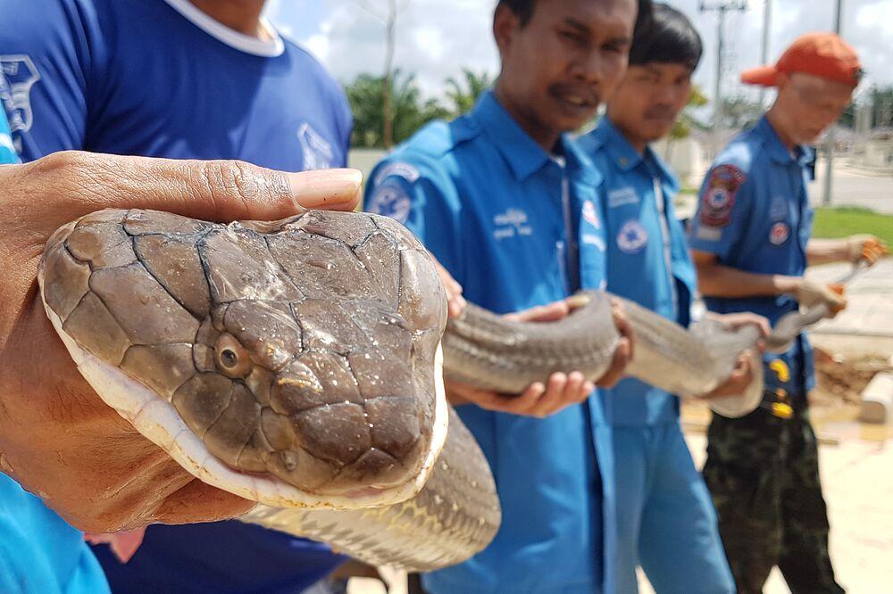 Cobra de quatro metros captada pelos serviços de resgate tailandeses na canalização de um povoado na província de Crabi