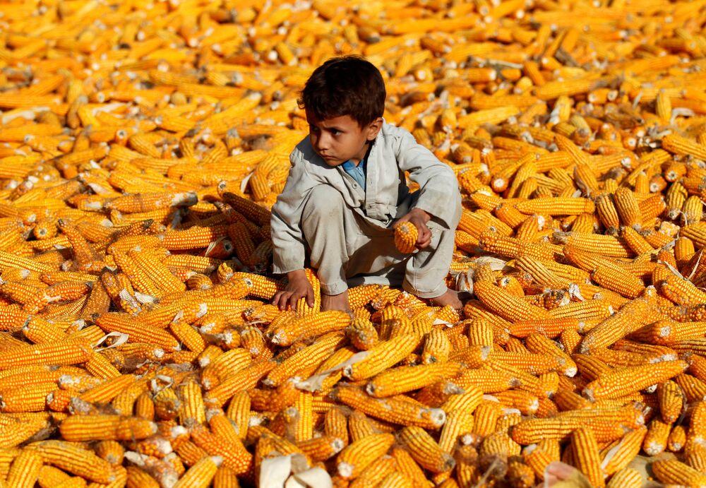 Menino em um campo de milho em Nangarhar, Afeganistão