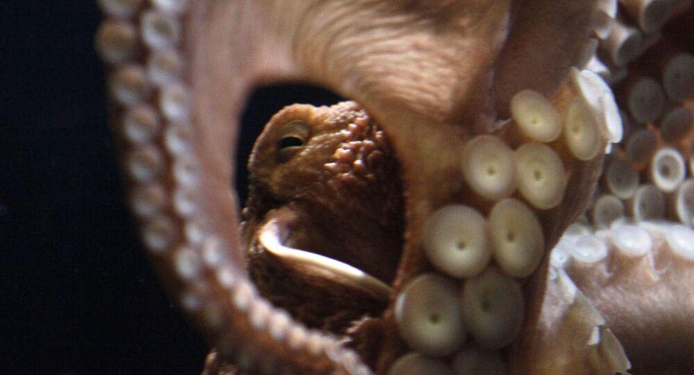 Polvo gigante (foto de arquivo)