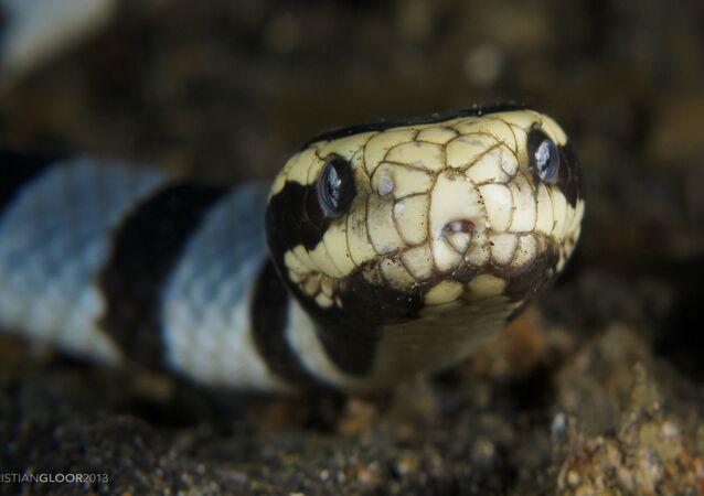 Cobra do mar