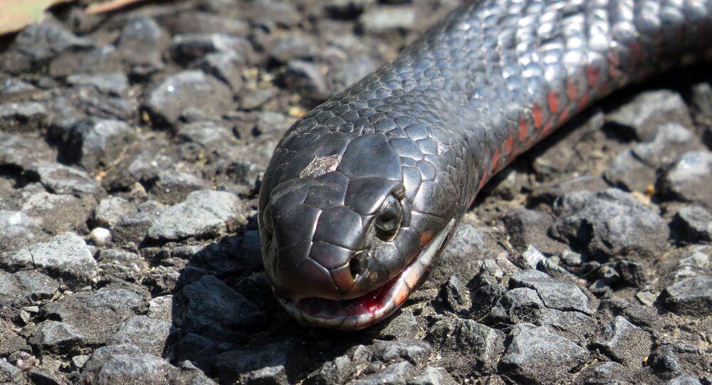 Serpente negra de barriga vermelha
