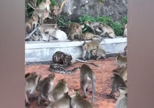 Píton estrangula macaco até a morte enquanto bando tenta salvá-lo
