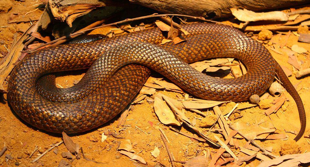 Uma cobra marrom ocidental (foto de arquivo)