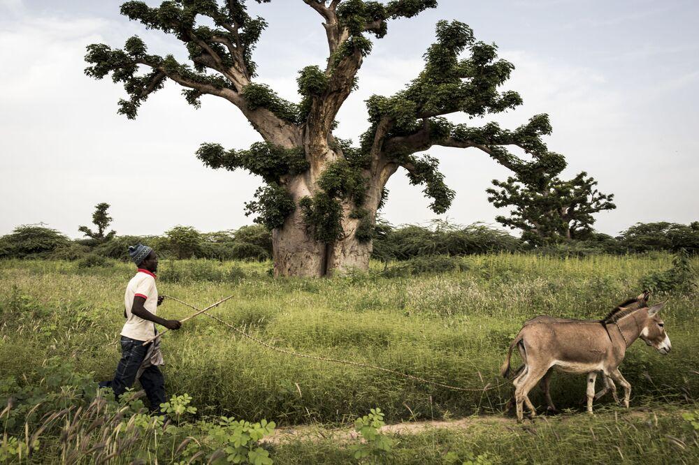 Homem caminha com seus jumentos próximo da floresta de Bandia, no Senegal